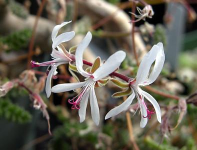 Pelargonium alternans flower