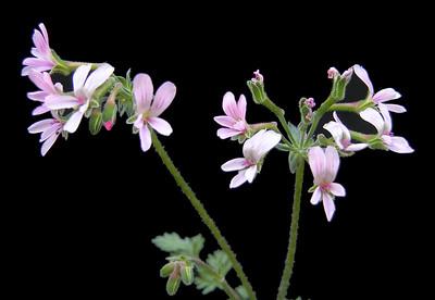 Pelargonium crassipes flowers