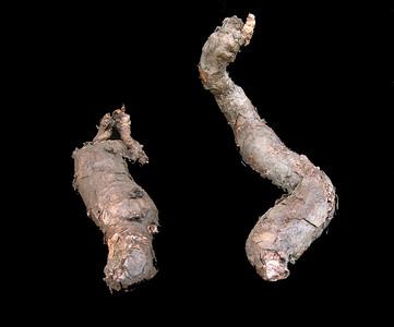Pelargonium bowkerii tubers