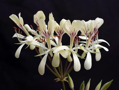 Pelargonium oblongatum 2021-04-22