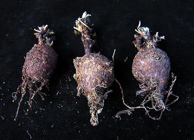 Pelargonium barkleyi tubers