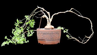 "Pelargonium speceis ""Brachystelmoides"""