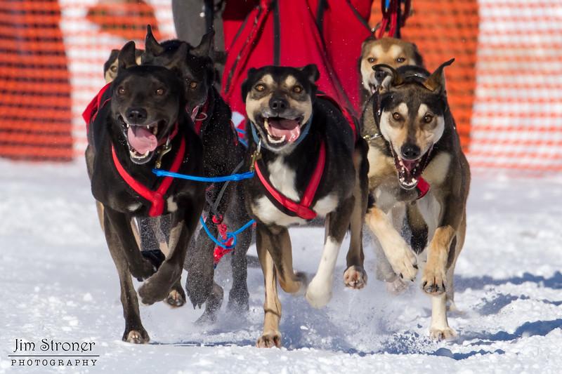 Adam Moore's 6-dog team near the start of the 2013 WolfTrack Classic