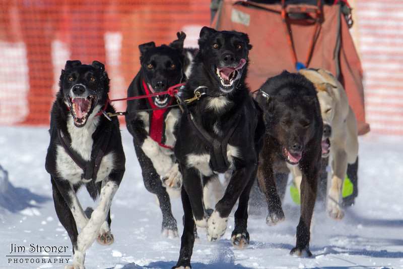 Billie Diver's 6-dog team near the start of the 2013 WolfTrack Classic