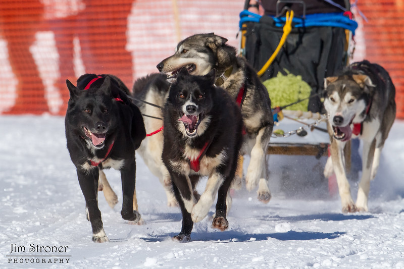 Heather Jeske Pharr's 6-dog team near the start of the 2013 WolfTrack Classic
