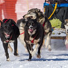 Heather Jeske Pharr's 6-dog team near the start of the 2013 WolfTrack Classic
