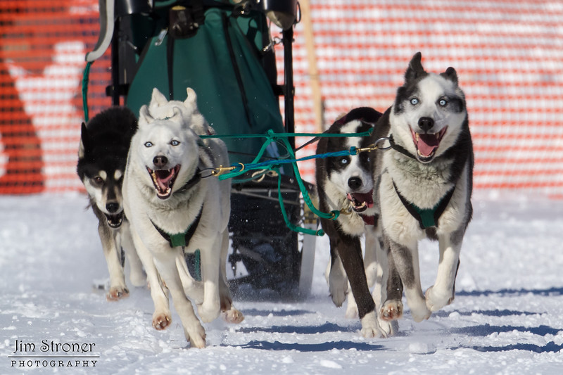 Jim Methven's 6-dog team near the start of the 2013 WolfTrack Classic