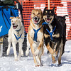 Joanna Oberg's 6-dog team near the start of the 2013 WolfTrack Classic