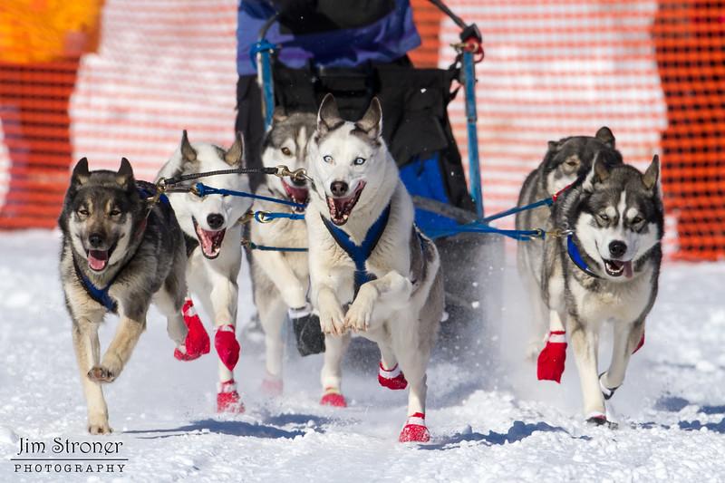 Julie Schmelzer's 6-dog team near the start of the 2013 WolfTrack Classic