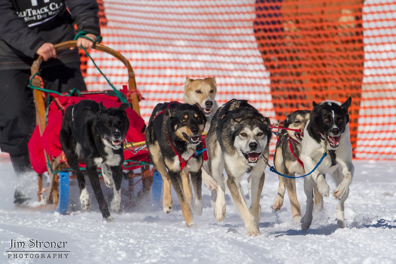 Kelly Sipper's 6-dog team near the start of the 2013 WolfTrack Classic