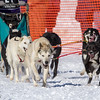 Kris Ausland-Saari's 6-dog team near the start of the 2013 WolfTrack Classic