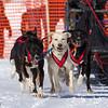 Stephanie Davis's 6-dog team near the start of the 2013 WolfTrack Classic