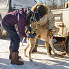 2014 John Beargrease Sled dog race vet check