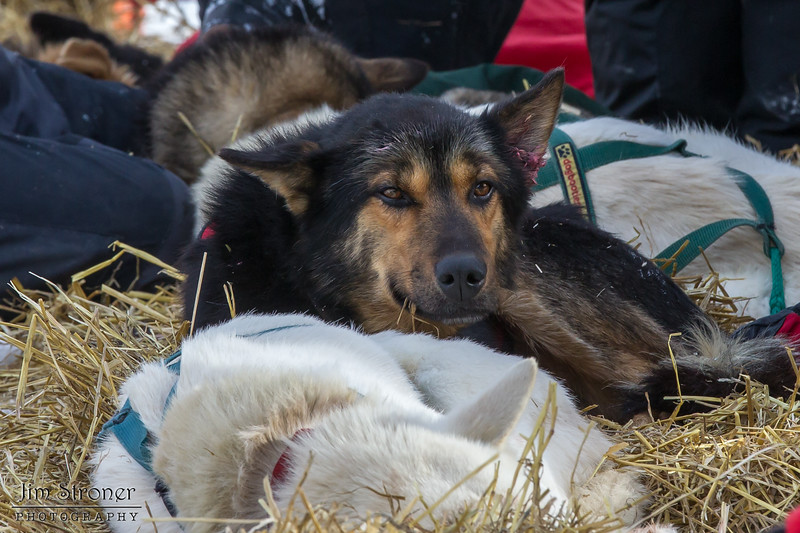 Peter McClelland's team resting at Hwy 2 checkpoint during the 2014 John Beargrease Marathon race