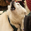 Peter McClelland's team ready to go before the 2014 John Beargrease sled dog race