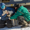 Dusty Klaven at 2014 John Beargrease Sled dog race vet check