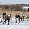 Brian Wiese's 6-dog team near the start of the 2015 WolfTrack Classic