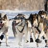 Mark Luttinen's 8-dog team near the start of the 2015 WolfTrack Classic