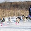 Dusty Klaven's winning 8-dog team near the start of the 2015 WolfTrack Classic