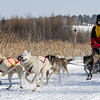 Linus Meyer's 6-dog team near the start of the 2015 WolfTrack Classic
