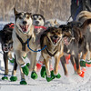 Mike Hoff's 8-dog team near the start of the 2015 WolfTrack Classic