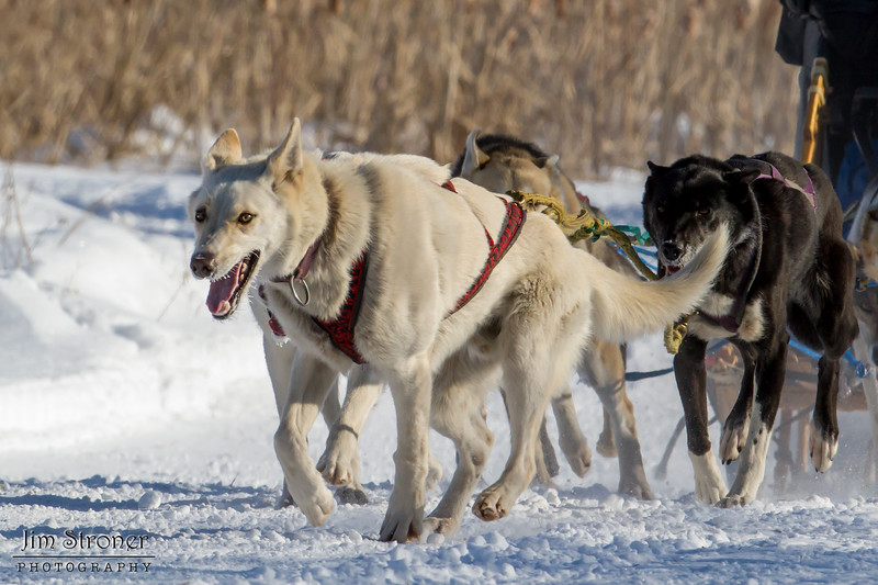 Samuel Louters 8-dog team near the start of the 2015 WolfTrack Classic