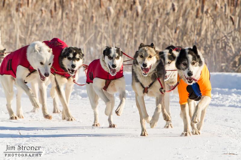 Saul Ellering's 12-dog team near the start of the 2015 WolfTrack Classic