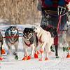 Ward Wallin's 8-dog team near the start of the 2015 WolfTrack Classic