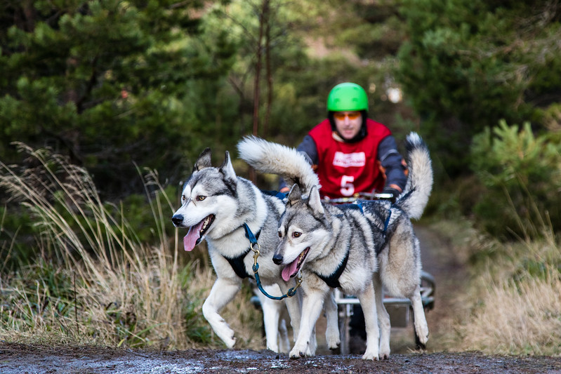 Aviemore Sled Dogs