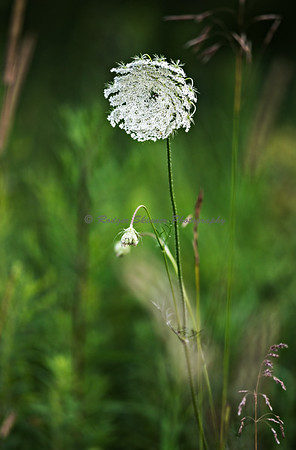 Queen Anne's Lace II