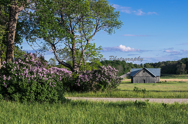 Lilacs At Pelky Barn