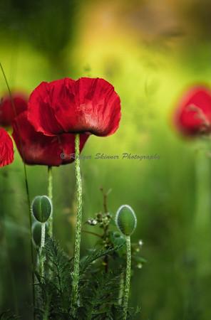 Stormer Poppies II
