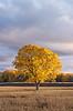 Fall Locust Tree
