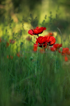 Stormer Poppies