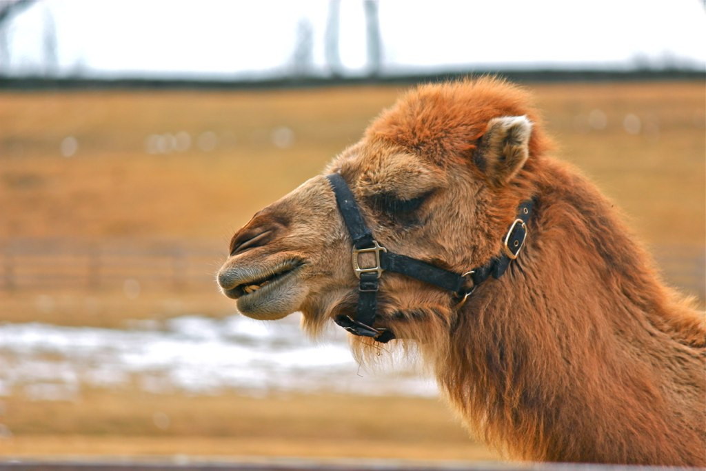 Silly camel!