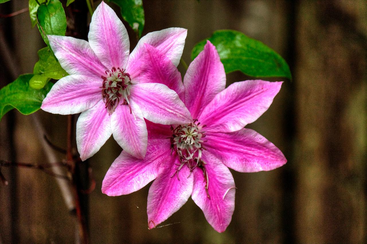 grainy clematis flower