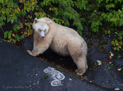 Spirit Bear on cliff