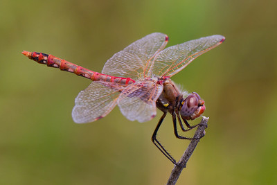 I think this guy is beautiful! The best I can do with identification (because I just look at pictures and guess...) is that this dragonfly is a mature male Variegated Meadowhawk.