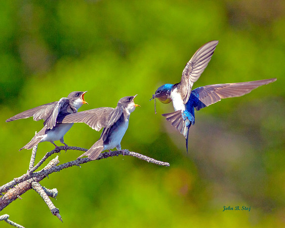 """Best 12 Pictures of The Year 2012"" *National Photography Contest Finalist; John Stoj's local picture of  ""Feeding Tree Swallows in Flight"", made the final cut of 12 best. Top photo will be chosen July1st, 2013..."