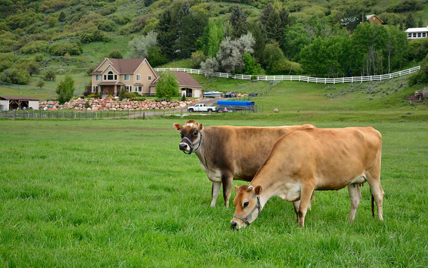 Cows grazing in the farm land