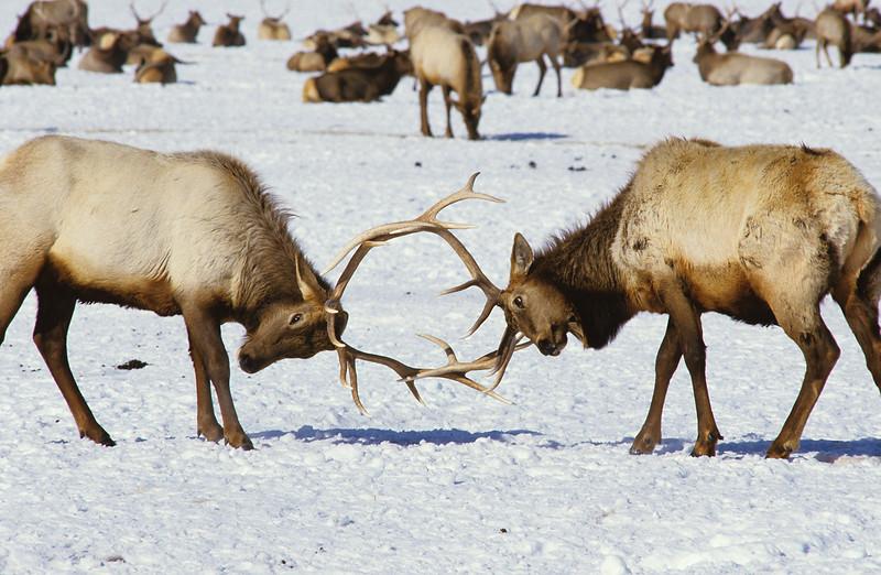 Two Sparring Bull Elk (Cervus canadensis), Winter, National Elk Refuge, Wyoming, USA
