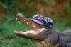 American Alligator (Alligator mississippiensis) Wearing a Hat, Controlled Conditions