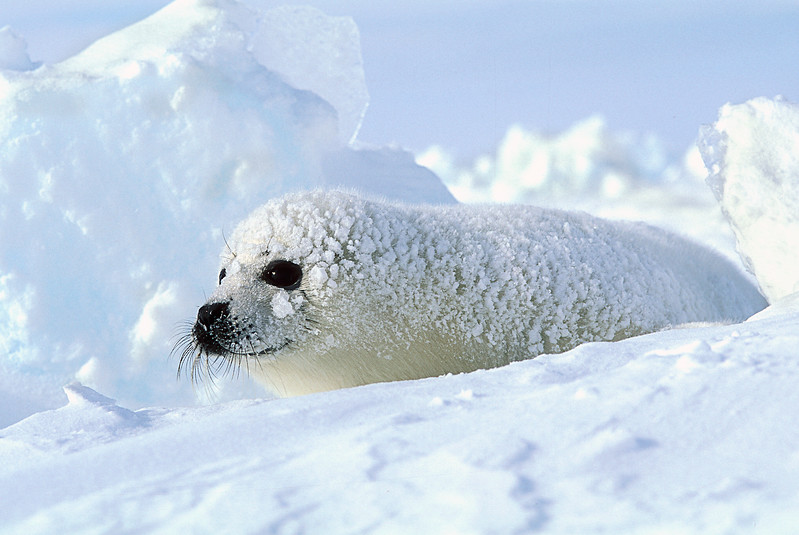 Harp Seal Pup (Pagophilus groenlandicus) formerly known as (Phoca groenlandica), on Pack Ice, Eastern Canada, Quebec