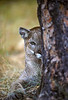 Mountain Lion, Felis concolor, Looking out from around a tree, controlled conditions