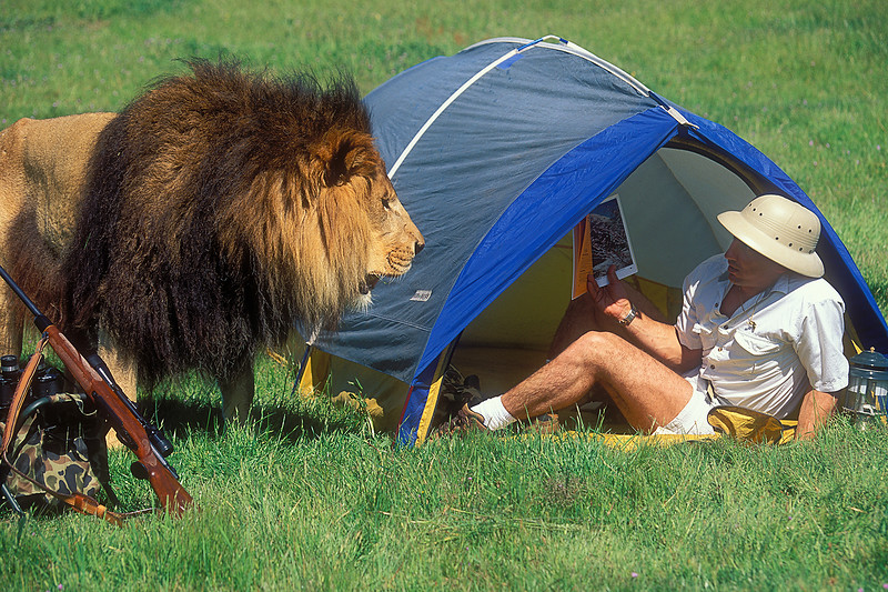 """MR, Male African Lion with """"Hunter"""" inside tent"""