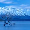 Lone Willow in Lake Wanaka
