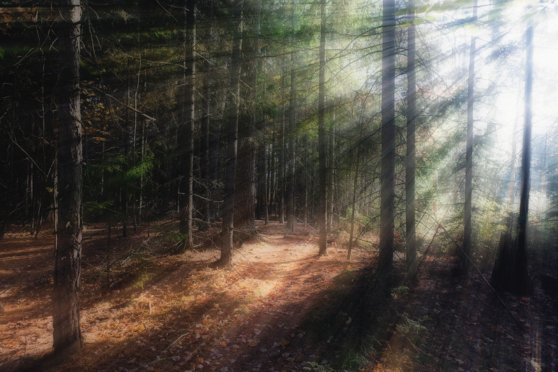 Morning Light in the Forest, Acadia National Park, Maine
