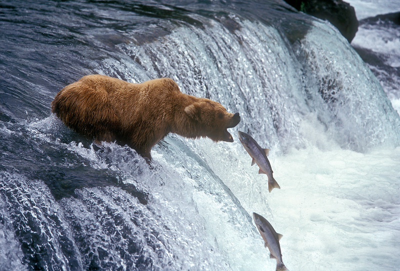 Alaskan Brown Bear,  Ursus arctos horribilis, Feeding on Salmon, Brooks Falls, Brooks River, Katmai National Park, Alaska