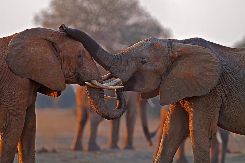Two African Elephants, Loxodonta africana, Tsavo East National Park, Kenya, Africa, Proboscidea Order, Elephantidae Family