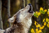 Howling Gray Wolf (Canis lupus), autumn, controlled conditions